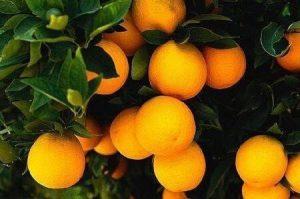 arance-vaniglia-apireno-ribera-sicilia